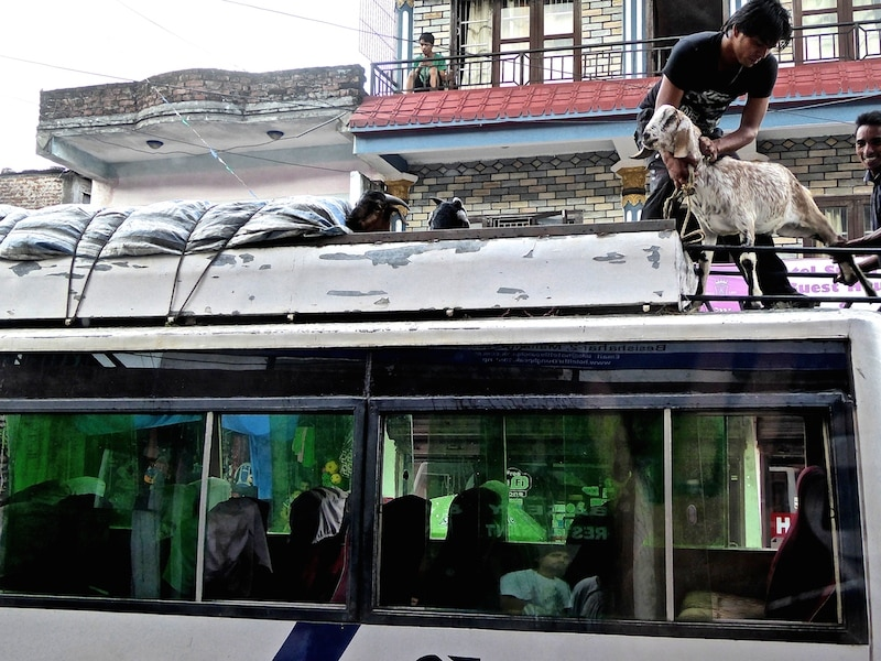 chevre sur le toit d un bus