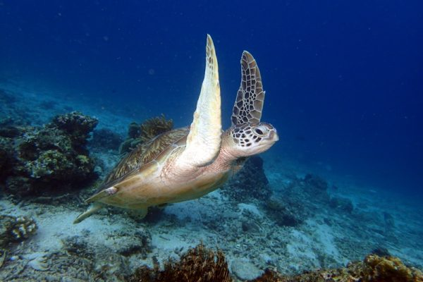 photo tortue gili air bali indonesie