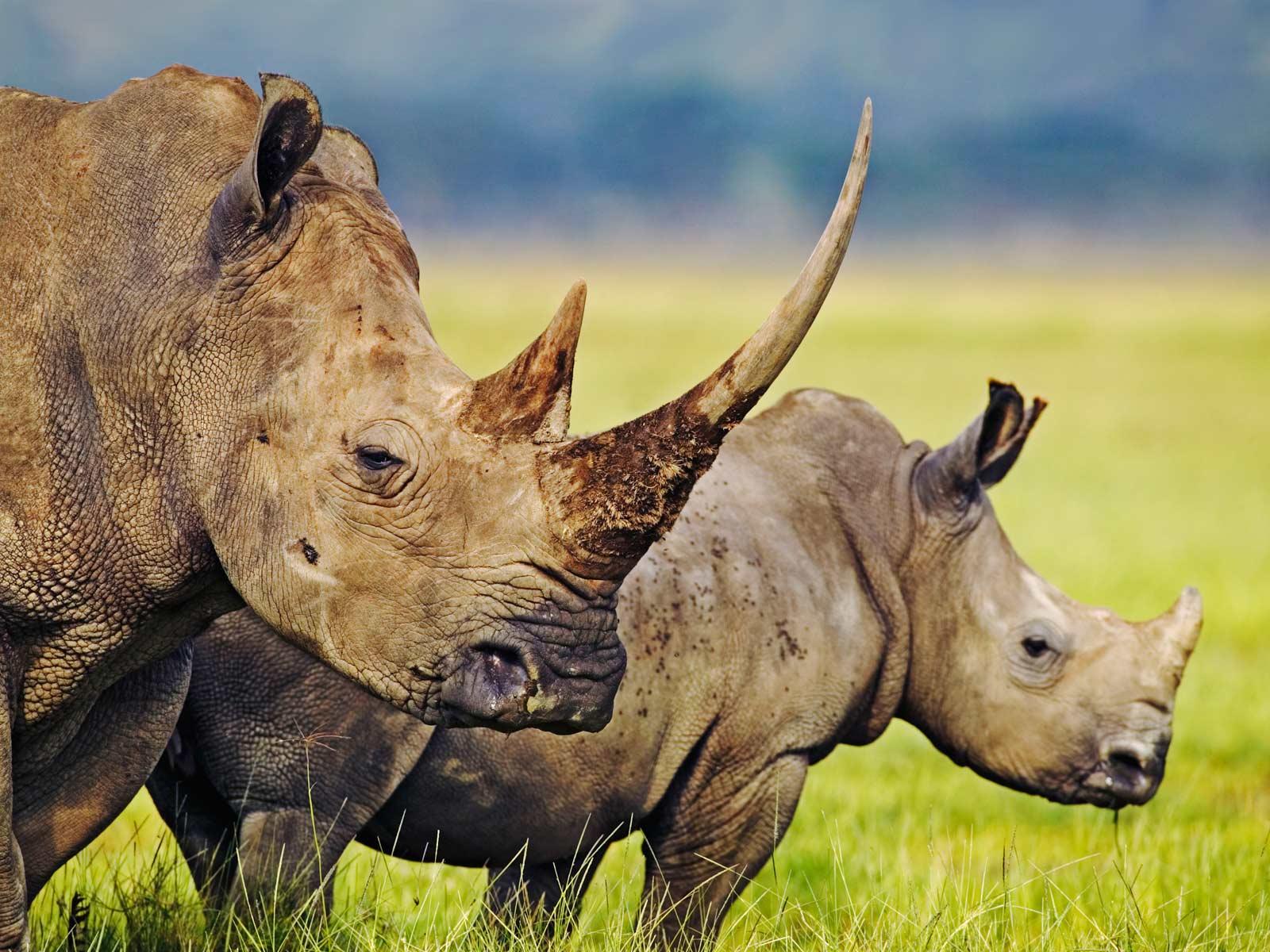 Rhinoceros chitwan